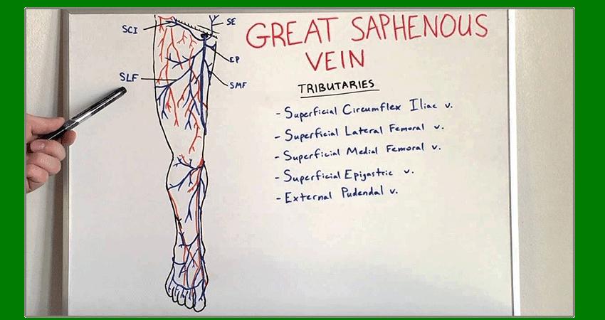 Saphenous vein